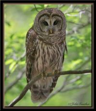 Barred Owl by John Gunther 1