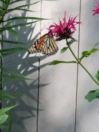 Monarch on Bee Balm