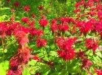 Red Monardo or Beebalm in the Butterfly Garden