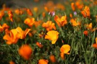 Massive California Poppy Blooms