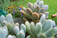 Marge's flowers (8)  - more succulents