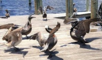 pelicans (2) Theme birds