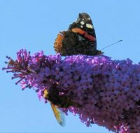 red admiral and hornet mimic hoverfly on buddleia