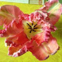 Center Tulip