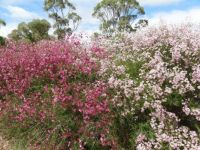 Geraldton Wax, Kings Park, Western Australia
