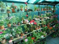 My greenhouse with Pelargonium/Geraniums.