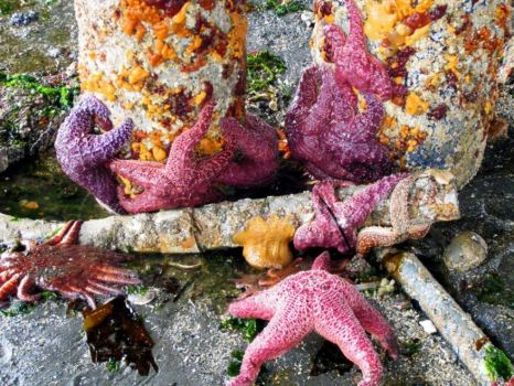 Starfish(small)