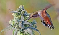 Humingbird on the Wing  J