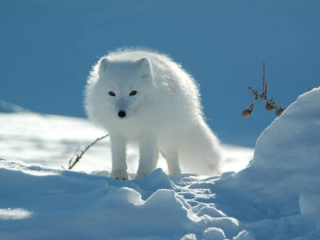 Arctic polar fox in the snow searching for food