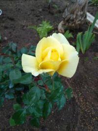WinterSun Rose bud