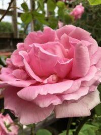 Climbing rose beauty
