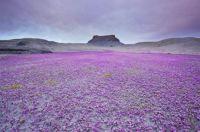 A sea of purple in the badlands of Utah