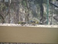 Two Finches feeding