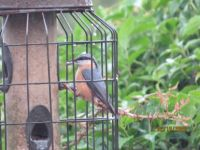 Nuthatch just kept returning to the feeder.