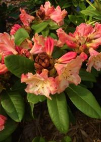 """rhododendron """"Honey Butter""""--more challenging"""