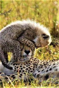 Cheetah with kitten
