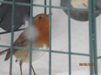 But the Robin did find a benefit of the snow.