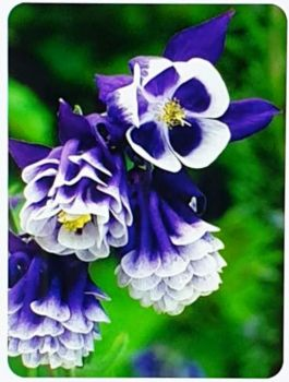AQUILEGIA'S STUNNING CLUSTERS OF COLOR