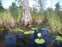 Trip thru the swamp        Cypress tree (middle) & Cypress knees ( 2 on left)