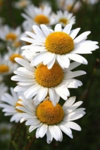 The Beauty of Daisys
