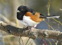 Rufous Sided Towhee-male