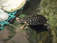 Little Spotted Turtle