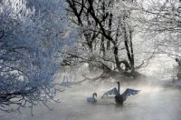 SwansBelarus