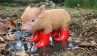 Pig-In-Boots...