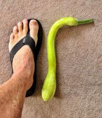 Foot-long Trombetta Squash