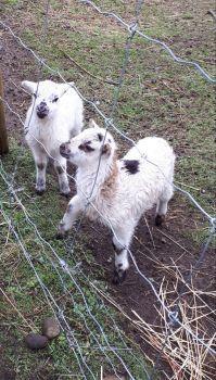Emma's Lambs