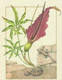Gigalo dragone - Geco (Area mediterranea)