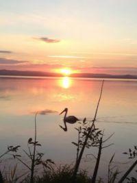 Pelican on Tuggerah Lake NSW