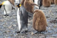 King Penguin and Chick, South Georgia