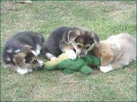 Dog pack attacks gator