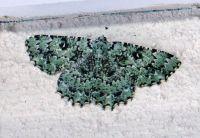 Hypodoxa Muscosaria.  Beautiful colours