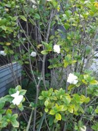 The gardenia bushes in my backyard are just beginning  to bloom.  AHHHH