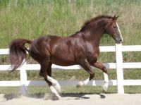 ES Gold Luck - Oldenburg Stallion (RIP)