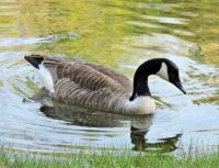 More Birds: Canada Goose in shallows
