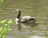 Unusual Canada goose