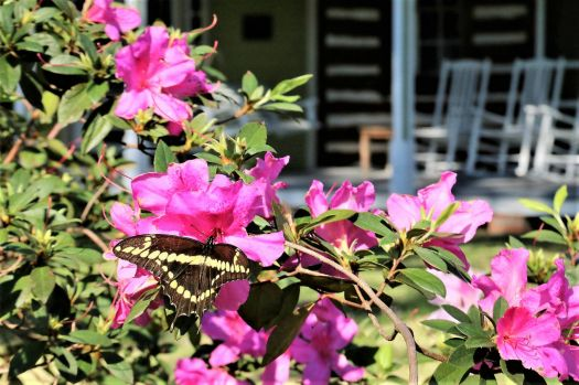 Swallowtail on Azalias