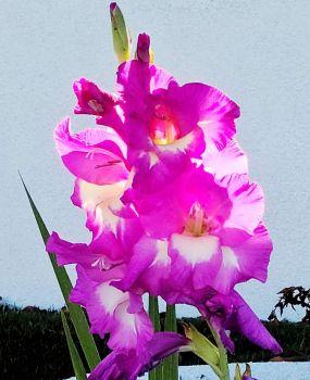 Back-lit Gladiolus