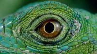 Lizards eye