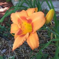 Day Lily 2 May 2019