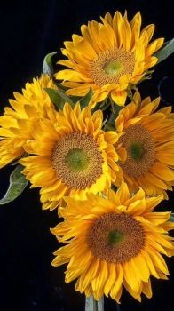 The Beauty of Sunflowers