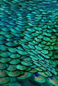 2  ~  Peacock Feathers. (P/N)