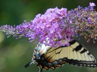On the butterfly bush.