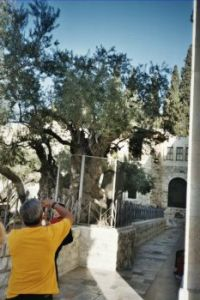 Said to be the oldest olive tree in Israel.