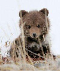 Petit ourson  brun