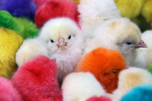 Colorered Chicks