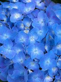 hydrangea- Theme All Things Blue